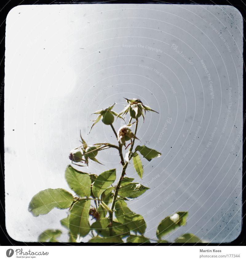 gesträuch alt Blume grün blau Pflanze Blatt Gefühle Blüte grau Stern (Symbol) ästhetisch Wachstum trist Sträucher einzigartig Spitze