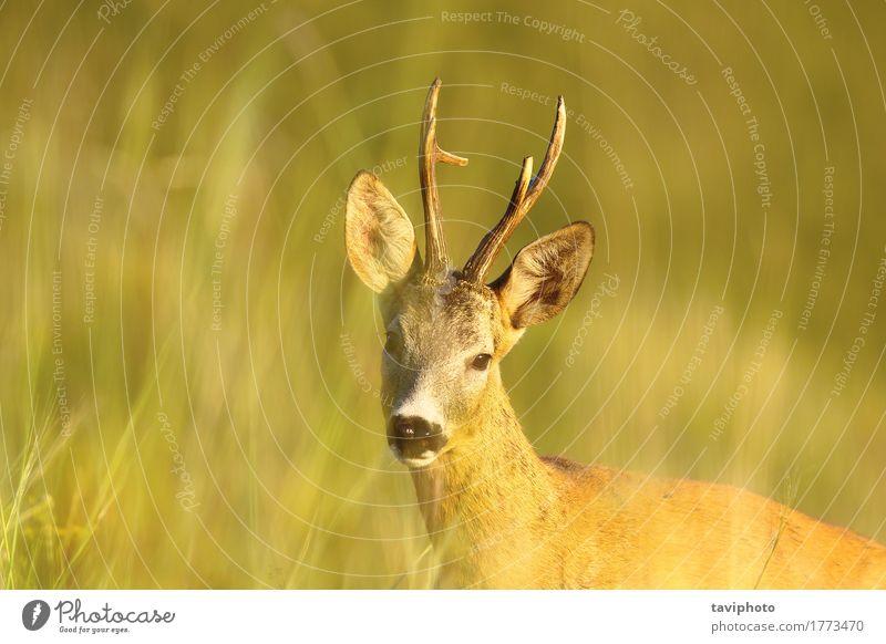 Porträt des wilden Rehbocks schön Spielen Jagd Sommer Frau Erwachsene Mann Natur Tier Gras Wiese Wald Pelzmantel natürlich niedlich braun grün Rogen Tierwelt