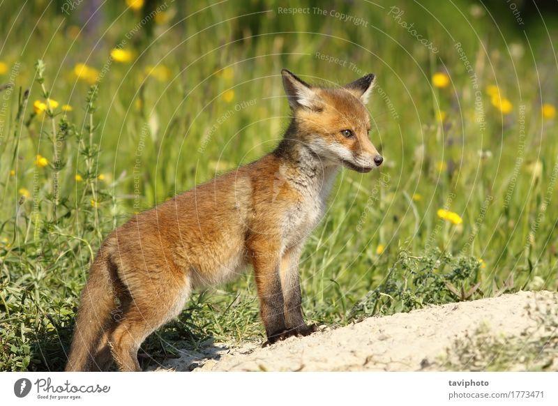 Red Fox Baby in der Nähe der Höhle schön Gesicht Umwelt Natur Tier Gras Pelzmantel Hund Tierjunges klein natürlich niedlich wild braun grün rot Schamlippen
