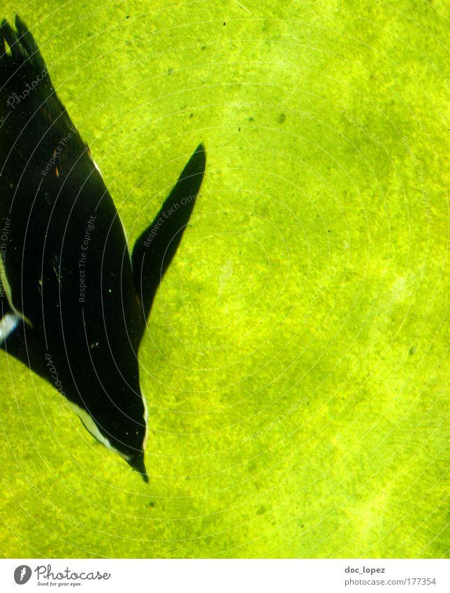 Fast komplementär in stromlinienförmig Wasser Tier Wasserfahrzeug Vogel Schwimmen & Baden Schwimmbad tauchen Wildtier Urelemente mehrfarbig Pinguin