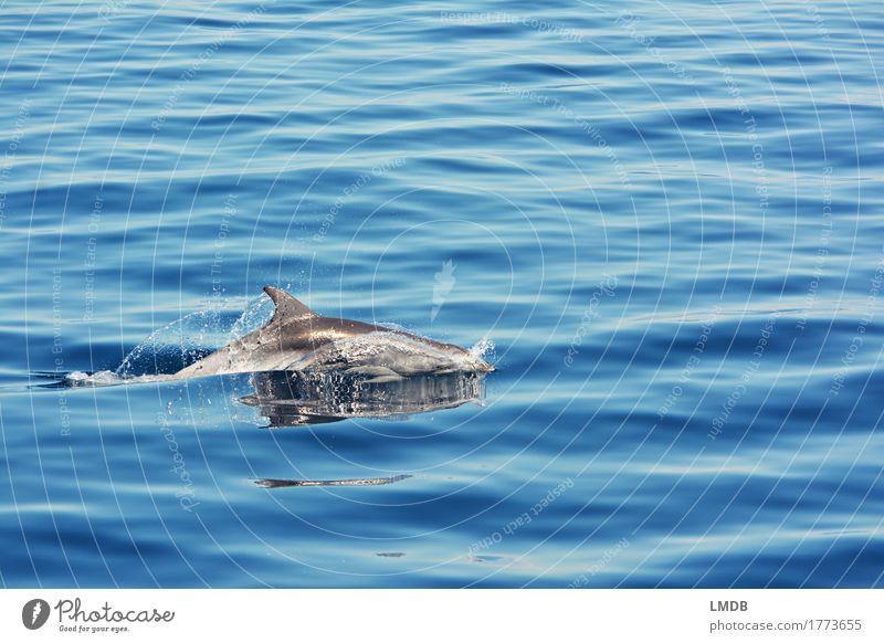 Delphin... Stop Motion 3 Umwelt Natur Wellen Meer Tier Wildtier Delphine 1 Schwimmen & Baden tauchen elegant frei blau Freude Fröhlichkeit Lebensfreude