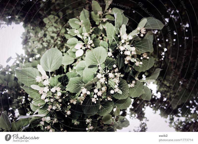 Lindes Grün Umwelt Natur Pflanze Baum Blatt Blüte Lindenblüte Blühend Wachstum Duft natürlich oben viele Frühlingsgefühle Idylle Blattadern Farbfoto