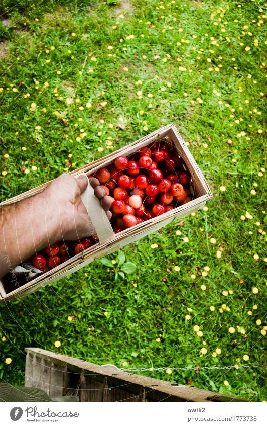 Obstkorb Freizeit & Hobby maskulin Hand Unterarm Umwelt Natur Pflanze Sommer Schönes Wetter Gras Kirsche Korb festhalten Leiter Leitersprosse Frucht Ernte