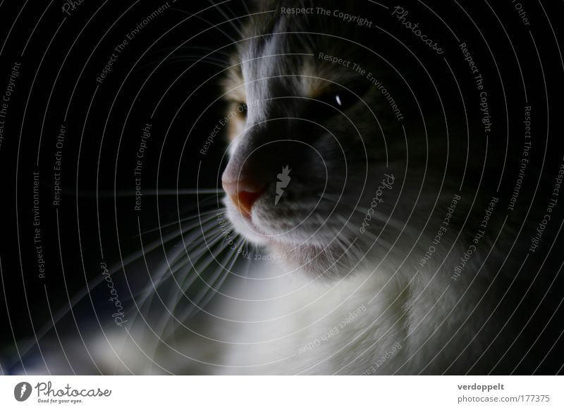 Katze weiß Tier Lampe Nase weich geheimnisvoll gemütlich Afrika Haustier heimwärts Rätsel Richtung bequem Mysterium Ägypten