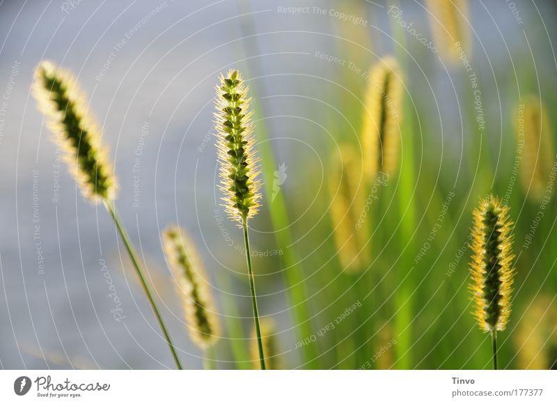 das letzte Tageslicht Natur schön grün Pflanze Sommer Gras Zufriedenheit Feld Umwelt gold Hoffnung Sträucher Spaziergang Getreide Glaube