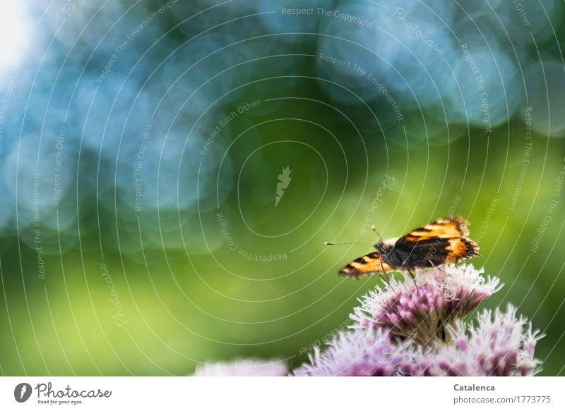 Startklar Natur Himmel Sommer Pflanze Blüte Waldrand Tier Wildtier Schmetterling Insekt 1 beobachten fliegen ästhetisch blau grün orange rosa schwarz