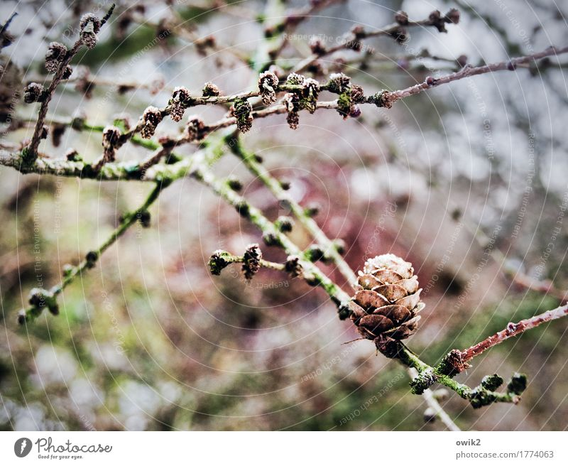 Wintergarten Umwelt Natur Landschaft Pflanze Eis Frost Sträucher Wildpflanze Konifere Zweige u. Äste Zapfen Garten Wachstum dünn authentisch fest kalt Farbfoto