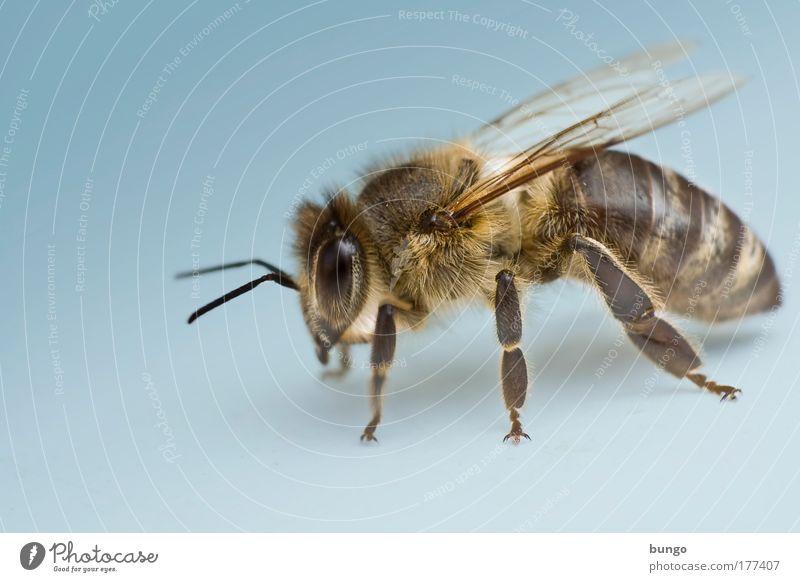 apis mellifera Farbfoto Studioaufnahme Makroaufnahme Textfreiraum links Kunstlicht Froschperspektive Tierporträt Wildtier Biene Insekt Gliederfüßer fliegen