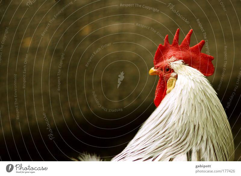 Auweia Herr Konstantin Natur schön weiß rot Tier gelb Denken Kraft Macht Tiergesicht Flügel beobachten natürlich Mut Haustier Schnabel