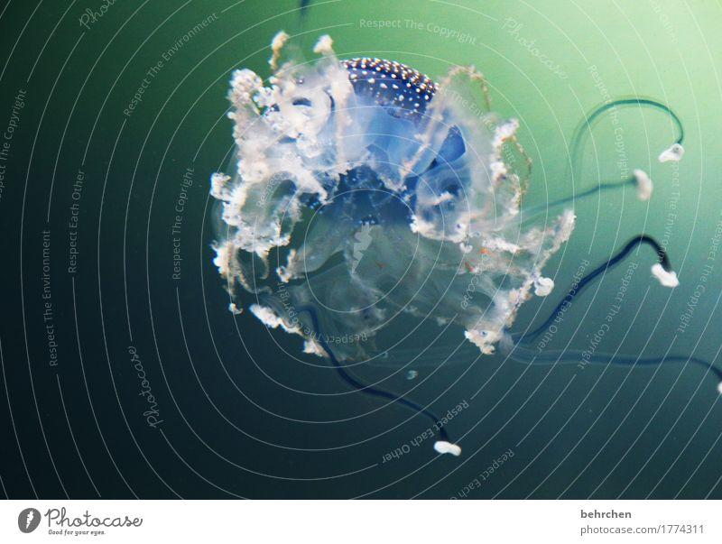 klangfarbe | schwerelos Natur schön Wasser Meer Tier außergewöhnlich Schwimmen & Baden elegant Wildtier weich exotisch Schweben Aquarium Gift Qualle