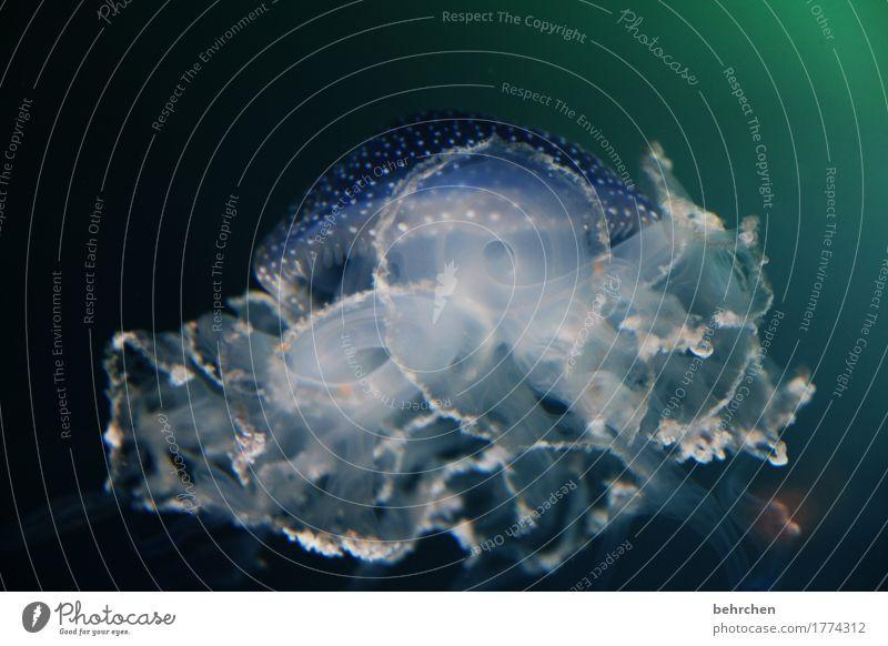 """""""alles kunst wenn du tanzt"""" Natur schön Wasser Meer Tier außergewöhnlich Schwimmen & Baden Wildtier fantastisch weich Punkt tauchen exotisch Schweben Aquarium"""