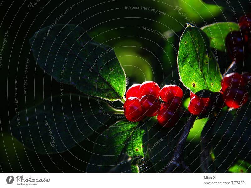 Glow Natur schön rot Pflanze Sonne Blatt Umwelt Park glänzend leuchten Sträucher rund Schönes Wetter Umweltschutz Beeren Gift