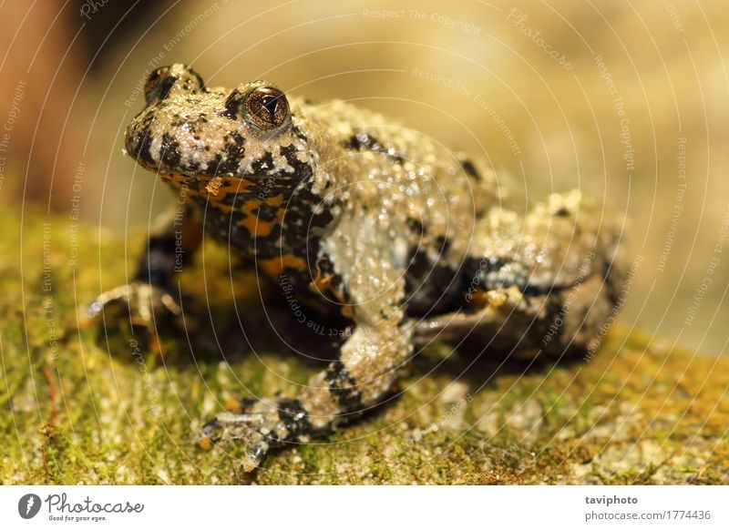 Gelbbauchunke Natur Landschaft Tier Wald gelb Garten braun wild Wildtier sitzen Europa Haut Lebewesen Moos Teich Wildnis