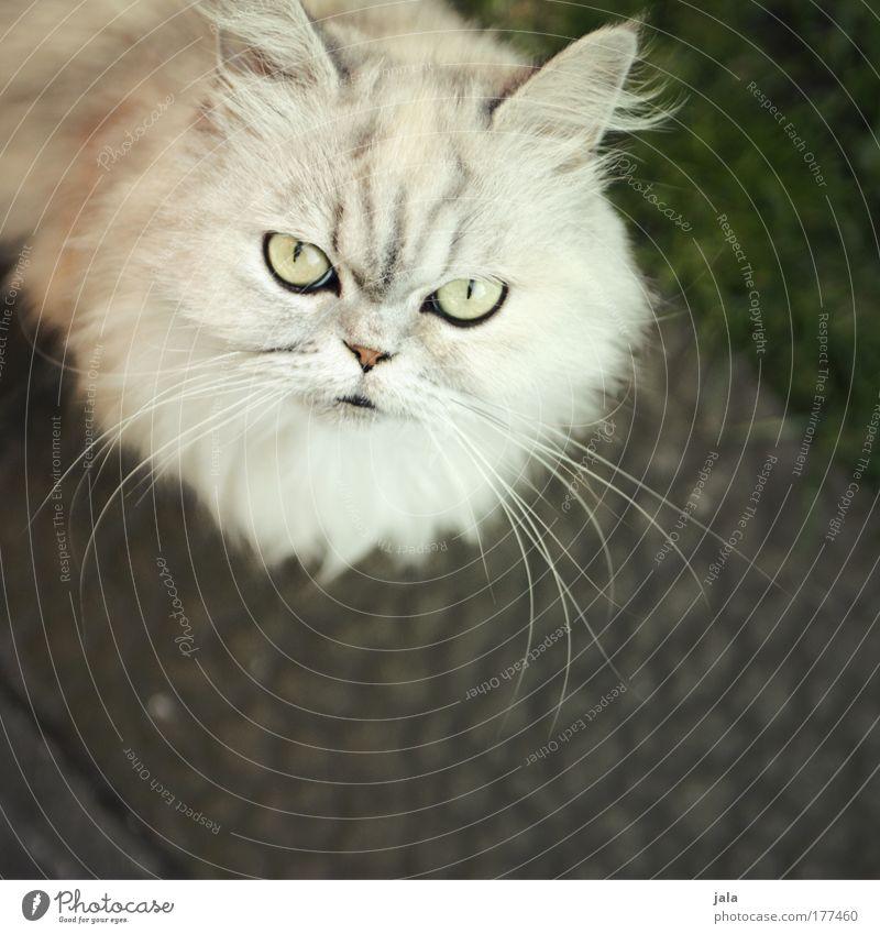 Blofeld's Cat weiß Auge Tier Katze Tiergesicht beobachten Fell Neugier hören