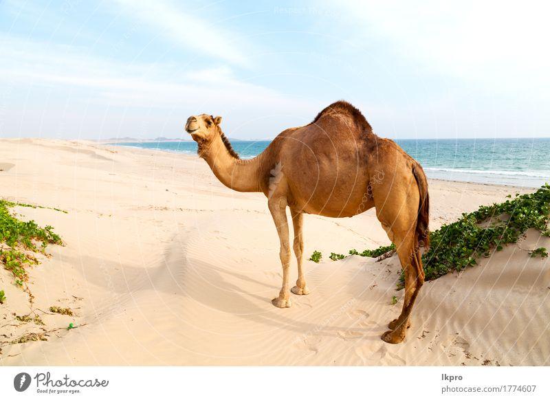 Wüste ein freies Dromedar in der Nähe des Meeres Essen Ferien & Urlaub & Reisen Tourismus Abenteuer Safari Sommer Strand Mund Natur Pflanze Tier Sand Himmel