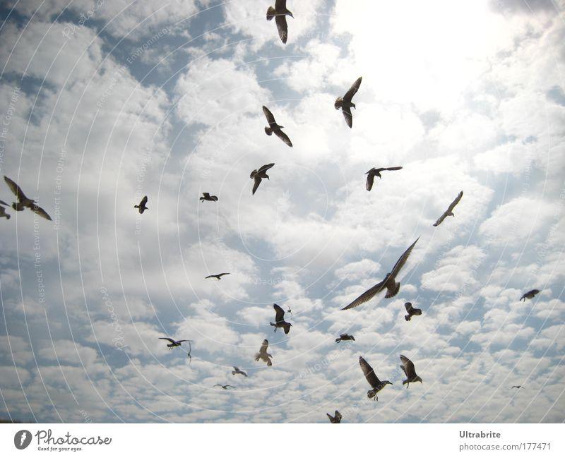 Möwensturm Himmel blau weiß Sommer Wolken Tier Leben Bewegung Luft Vogel elegant fliegen Geschwindigkeit ästhetisch Flügel Tiergruppe