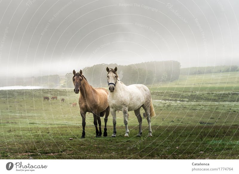 Freundaschaft Reiten Natur Landschaft Pflanze Tier Himmel Sommer Nebel Eukalyptuswald Wiese Wald See Pferd 2 beobachten ästhetisch Geschwindigkeit schön braun