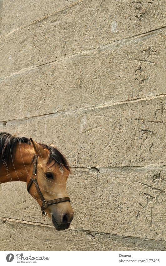Pferd Kopf Pferdekopf Tier Säugetier Fell Mähne Geschirr Halfter Wand Mauer Beton Zement grau Hochformat Textfreiraum oben Textfreiraum rechts Außenaufnahme Tag
