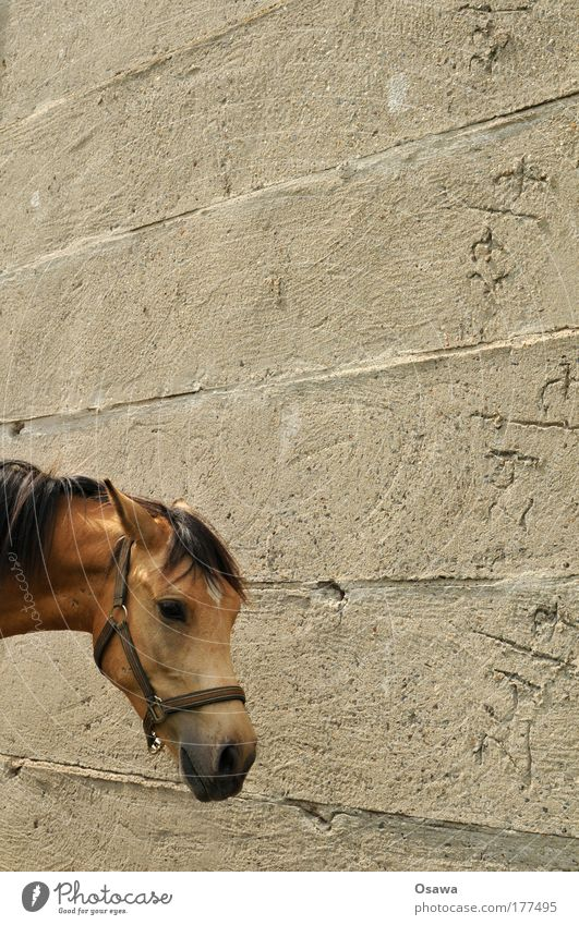 Pferd Tier Wand Kopf grau Mauer Beton Pferd Fell Geschirr Säugetier Mähne Hochformat Zement Halfter Pferdekopf