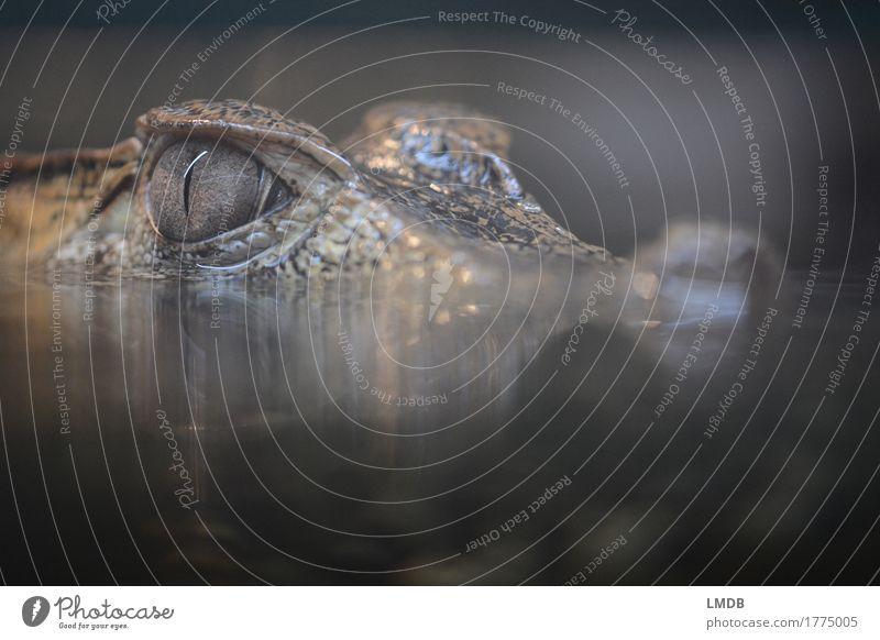 Krokodil - I Umwelt Tier Wildtier Zoo 1 schwarz gefährlich Reptil Alligator beobachten bedrohlich Angst Ekel Pupille Wasserspiegelung Schuppen Farbfoto