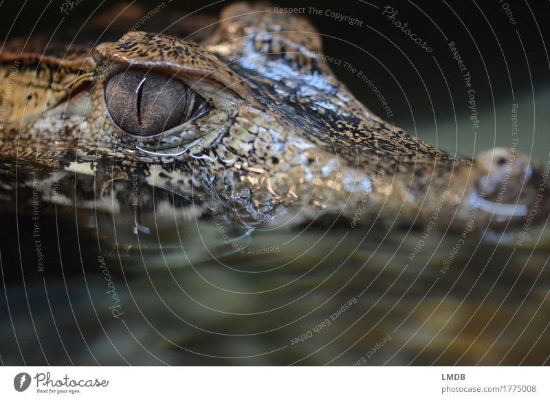 Krokodil - III Tier Wasser Wildtier Schuppen 1 bedrohlich exotisch gefährlich Alligator Reptil beobachten Angst Ekel Pupille Wasserspiegelung Farbfoto