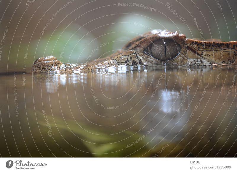 Krokodil - VI Umwelt Tier Wasser Wildtier Schuppen Zoo Aquarium 1 exotisch Reptil Alligator beobachten Wasserpflanze Sumpf Sumpfpflanze bedrohlich Farbfoto
