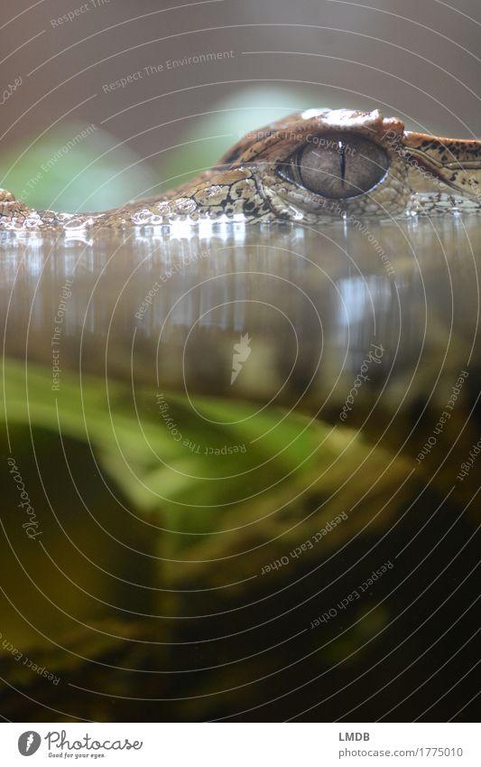 Krokodil - V Umwelt Natur Tier Wasser Wildtier Zoo Aquarium 1 exotisch Wasserpflanze Alligator Reptil bedrohlich beobachten Farbfoto Detailaufnahme