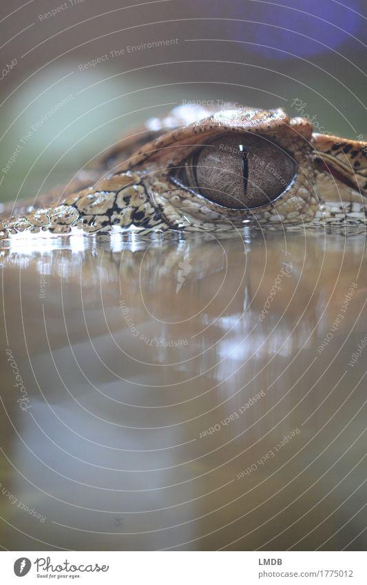 Krokodil - IV Umwelt Tier Wasser Wildtier Schuppen Zoo 1 exotisch Pupille Alligator bedrohlich beobachten Reptil Farbfoto Detailaufnahme Textfreiraum oben