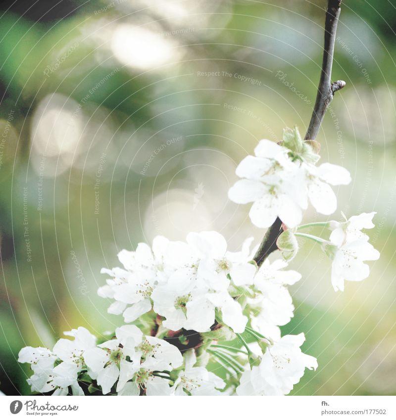 Frühlingserwachen Natur schön weiß Baum Sonne grün Pflanze Blüte Frühling Glück Wärme Zufriedenheit hell Gesundheit Obstbaum frisch