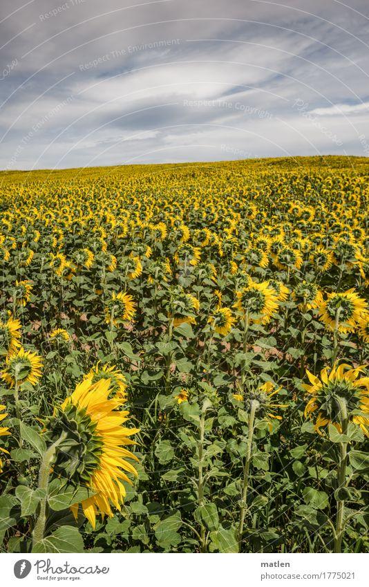 zum wegschauen Landschaft Pflanze Himmel Wolken Gewitterwolken Horizont Herbst Wetter schlechtes Wetter Feld Unendlichkeit gelb grau grün weiß Sonnenblume