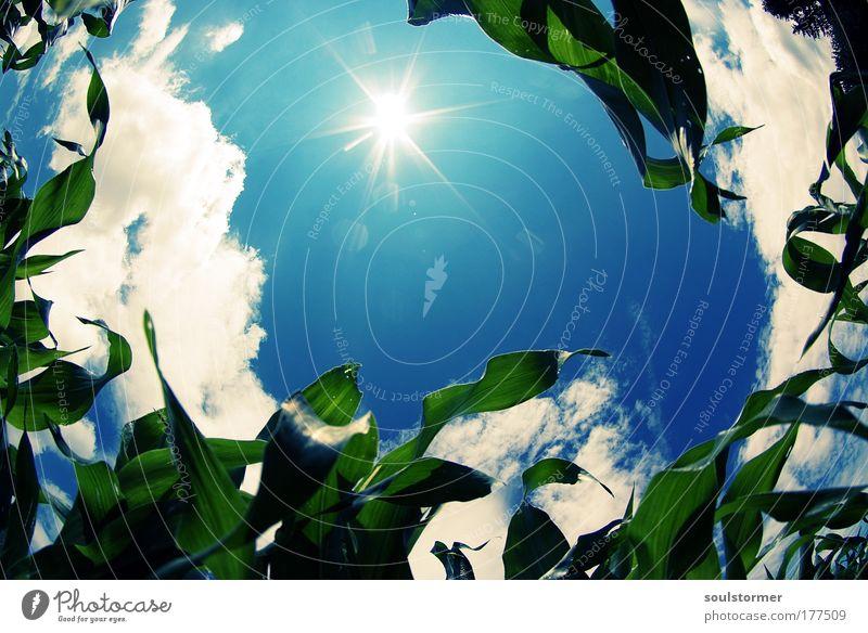 Ein Bett im Maisfeld... Farbfoto Außenaufnahme Menschenleer Textfreiraum Mitte Tag Sonnenlicht Sonnenstrahlen Fischauge Ferne Sommer Umwelt Natur Landschaft