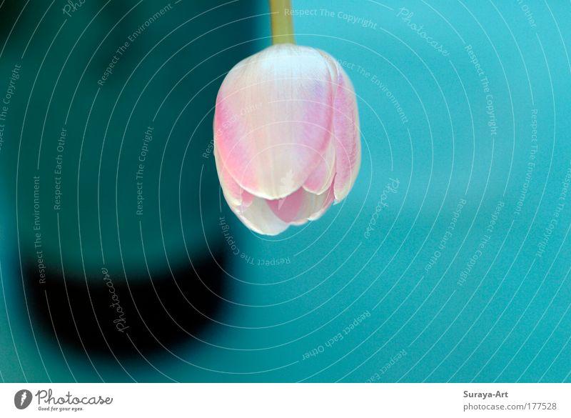 Rosy Farbfoto Innenaufnahme Schwache Tiefenschärfe Lifestyle harmonisch ruhig Wohnung Natur Pflanze Frühling Blume Tulpe Blüte Blühend hängen authentisch