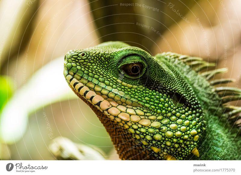 iguana Natur grün Tier gelb wild Wildtier ästhetisch Geschwindigkeit Italien Abenteuer sportlich stark exotisch Jagd Zoo Willensstärke