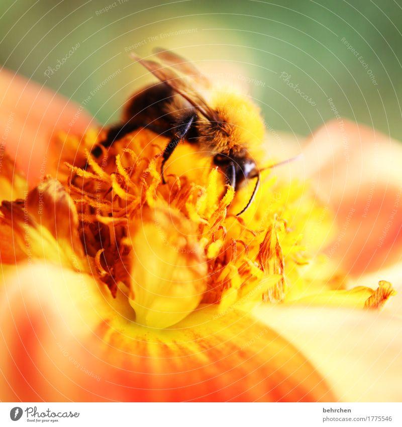 ein platz an der sonne Natur Pflanze Tier Sommer Schönes Wetter Blume Blatt Blüte Garten Park Wiese Wildtier Flügel Hummel 1 Blühend Duft fliegen Fressen schön
