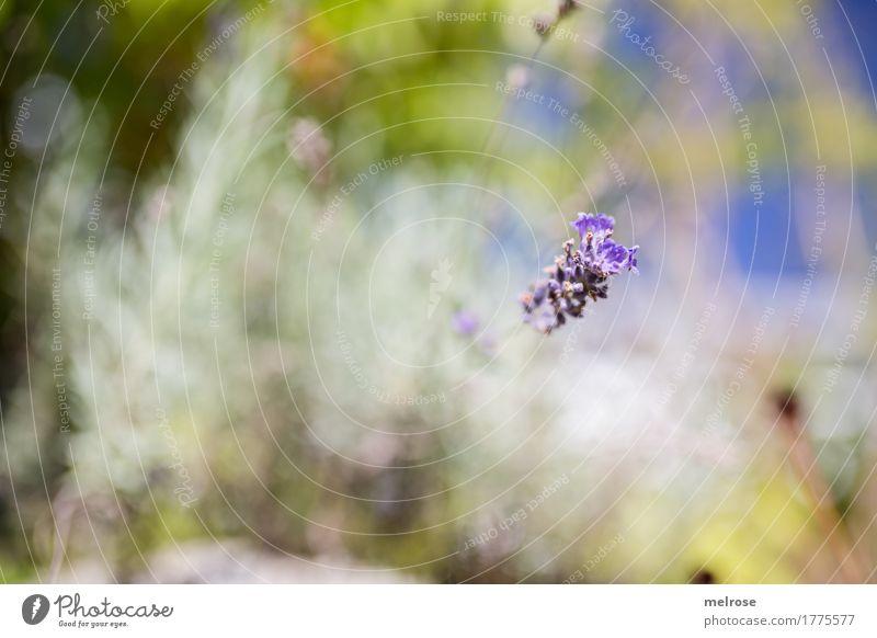 Blende 1.4 Kräuter & Gewürze elegant Stil Umwelt Natur Erde Himmel Sommer Schönes Wetter Pflanze Blume Gras Sträucher Blatt Blüte Grünpflanze Wildpflanze