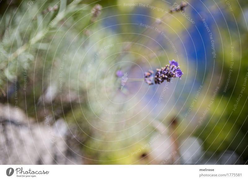 Blende 1.4 II Kräuter & Gewürze elegant Stil Natur Himmel Sommer Schönes Wetter Pflanze Blume Gras Sträucher Blüte Wildpflanze Lavendel Blütenpflanze Garten