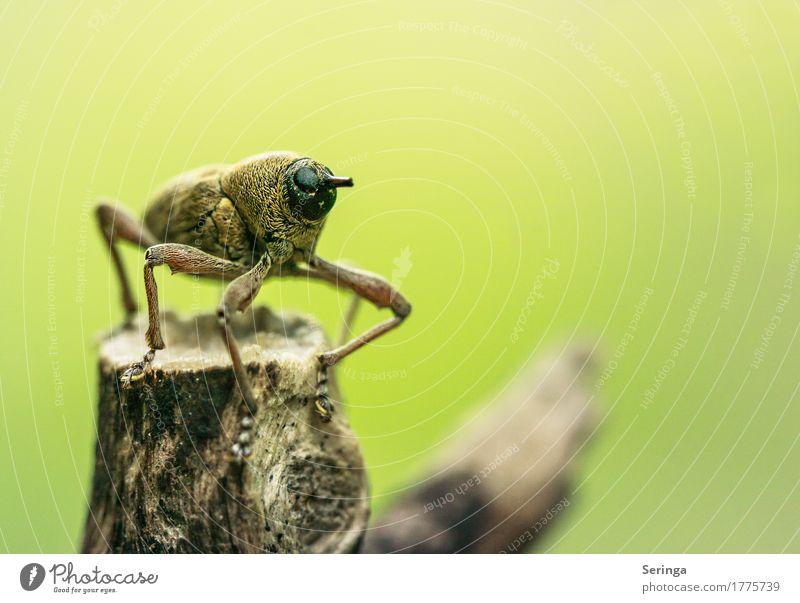 Auf dem Aussichtspunkt angekommen ( Rüsselkäfer ) 300. Tier Wildtier Käfer Tiergesicht Flügel 1 beobachten Ast Insekt Farbfoto mehrfarbig Außenaufnahme