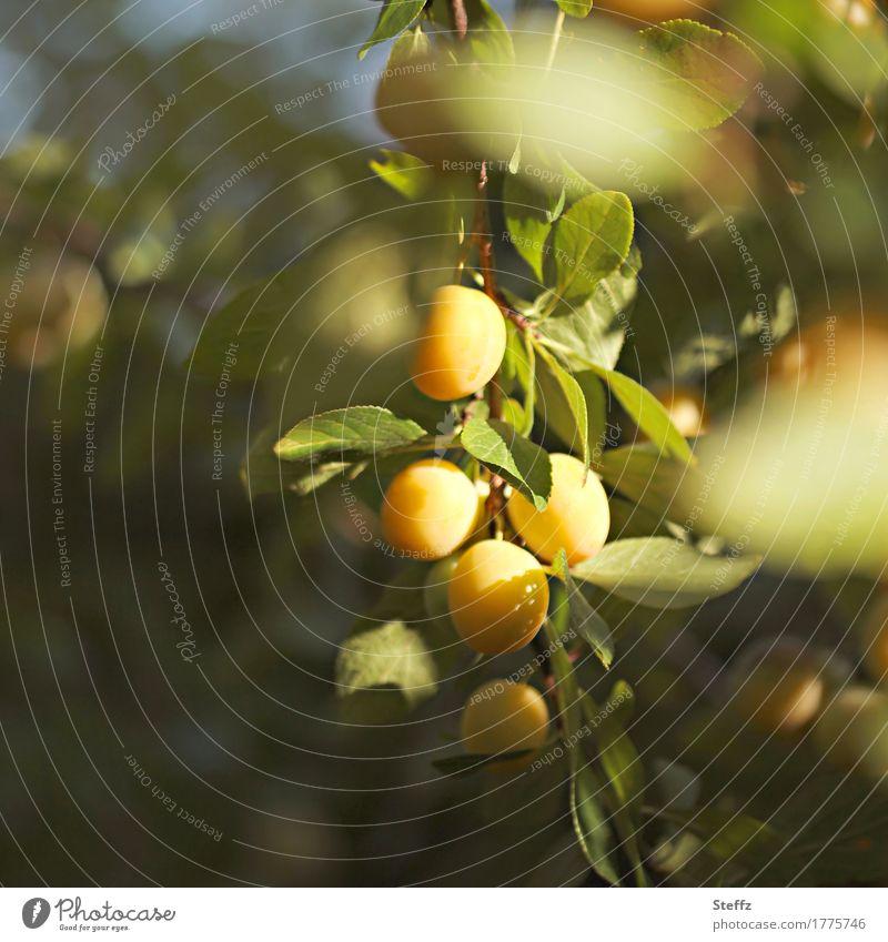 Erntezeit Lebensmittel Frucht Umwelt Natur Sommer Herbst Schönes Wetter Pflanze Pflaume Pflaumenbaum Zweig Obstbaum Mirabelle Obstgarten lecker saftig schön süß