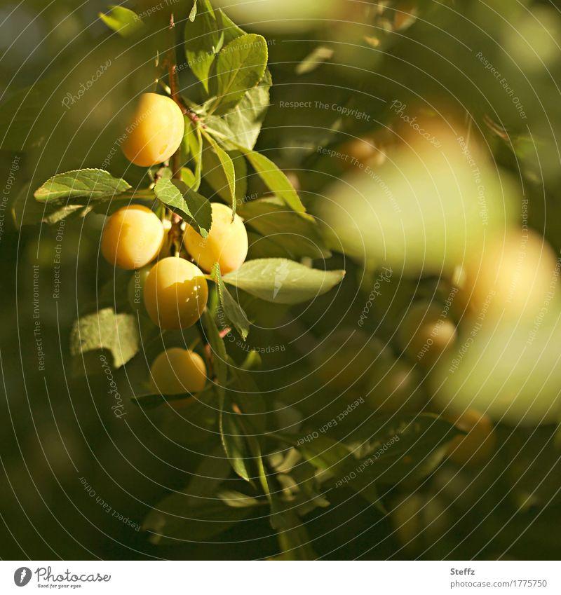 Mirabellen reifen im Obstgarten Pflaumen Früchte Obsternte gelbe Früchte sonnenreif Gartenobst gelbe Pflaumen Mirabellenbaum aus eigenem Garten Bioobst