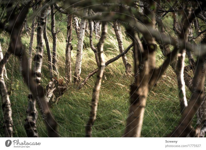 Wäldchen in den Dünen Natur Landschaft Pflanze Sommer Baum Gras Sträucher Wald Nordsee Insel Norderney Gelassenheit geduldig ruhig Birkenwald Farbfoto