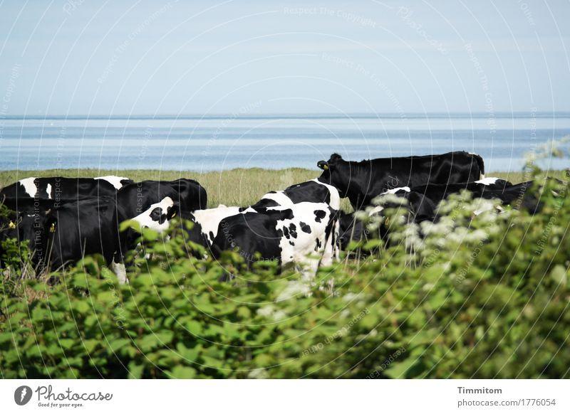 Zusammen halt. Ferien & Urlaub & Reisen Umwelt Natur Pflanze Tier Wasser Gras Sträucher Nordsee Dänemark Nutztier Kuh Tiergruppe stehen blau grün schwarz weiß