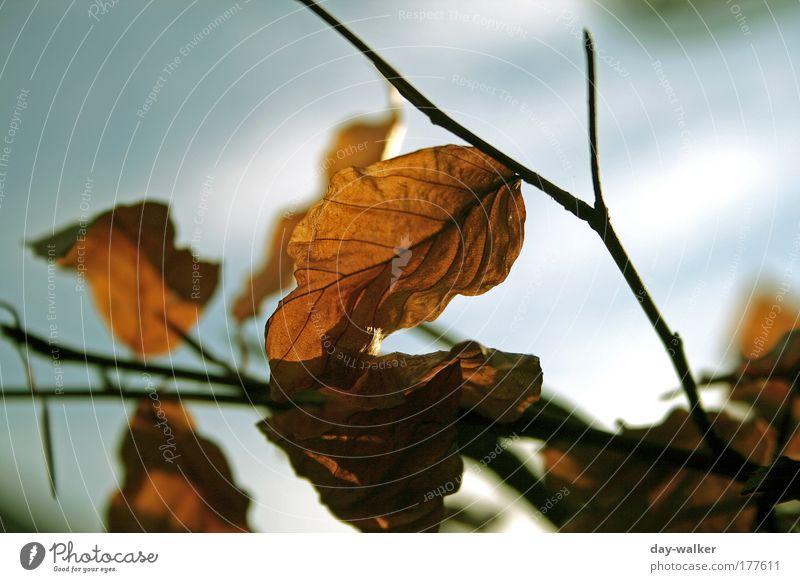 Der Sommer geht zuende Natur Himmel weiß Baum grün blau Pflanze Blatt Wärme braun Schönes Wetter