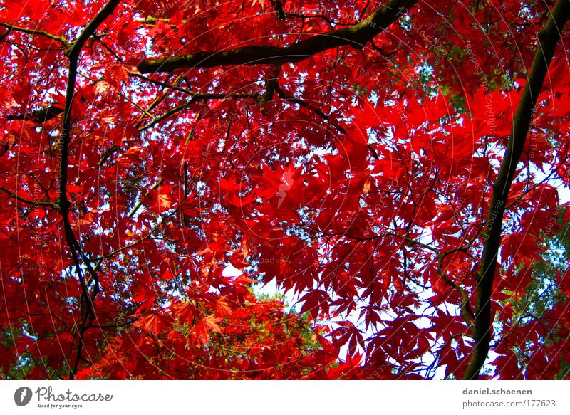 er steht vor der Tür Natur Baum Pflanze rot Blatt Farbe Wald Herbst Park Umwelt Zeit Wandel & Veränderung Vergänglichkeit