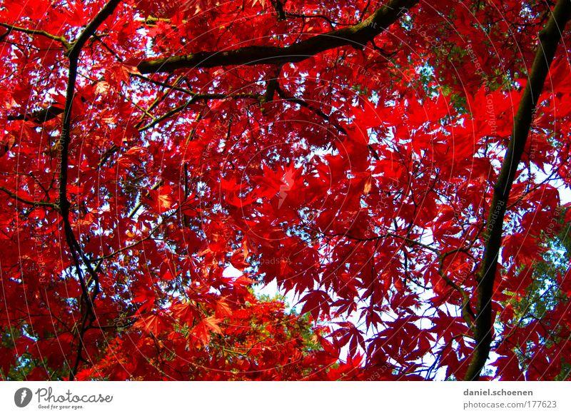er steht vor der Tür Umwelt Natur Pflanze Herbst Baum Blatt Park Wald rot Farbe Vergänglichkeit Wandel & Veränderung Zeit
