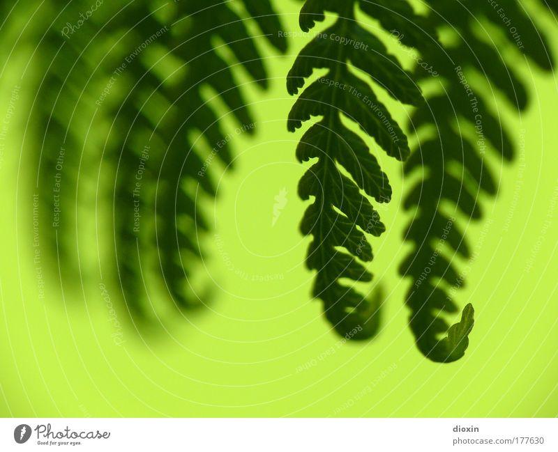 abgefarn Natur grün Pflanze Blatt ruhig Umwelt Park Urwald Wohlgefühl hängen exotisch harmonisch Botanik Farn Biologie Grünpflanze