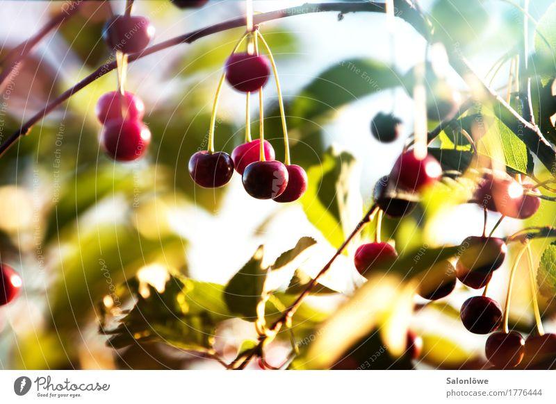 Cherry, cherry! Frucht Ernährung Bioprodukte Vegetarische Ernährung Umwelt Natur Pflanze Sommer Schönes Wetter Baum Blatt Garten lecker saftig sauer schön süß