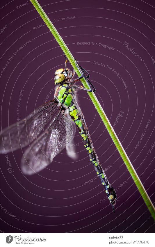 Haltung bewahren Natur Tier Stengel Moor Sumpf Flügel Insekt Libellenflügel Groß Libelle 1 festhalten grün ästhetisch Kraft Blaugrüne Mosaikjungfer Farbfoto