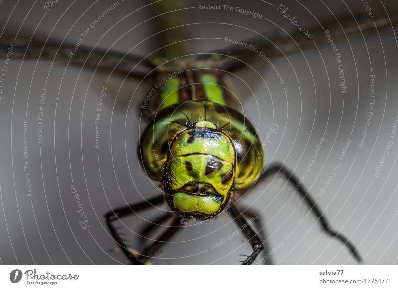 pokerface Natur Tier Moor Sumpf Tiergesicht Flügel Libelle Insekt Facettenauge 1 Jagd außergewöhnlich bedrohlich Coolness nah Geschwindigkeit grau grün