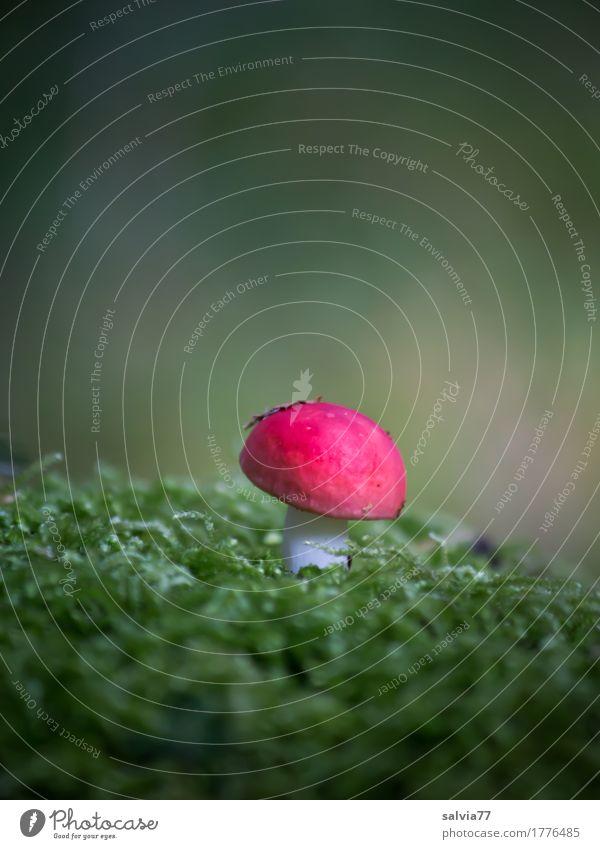 roter Zwerg Umwelt Natur Pflanze Erde Herbst Moos Pilz Wald leuchten Wachstum natürlich grün ruhig Einsamkeit Idylle Mittelpunkt Kontrast Märchenwald