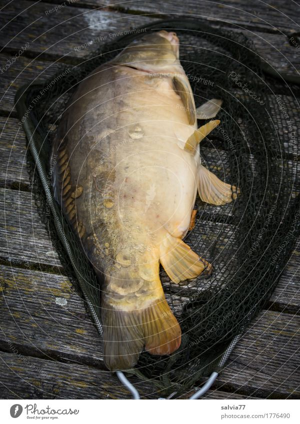 Angler-Glück Gesunde Ernährung Abenteuer Expedition Camping Umwelt Natur Tier See Wildtier Fisch Spiegelkarpfen Karpfen 1 liegen frisch nass schleimig Glätte